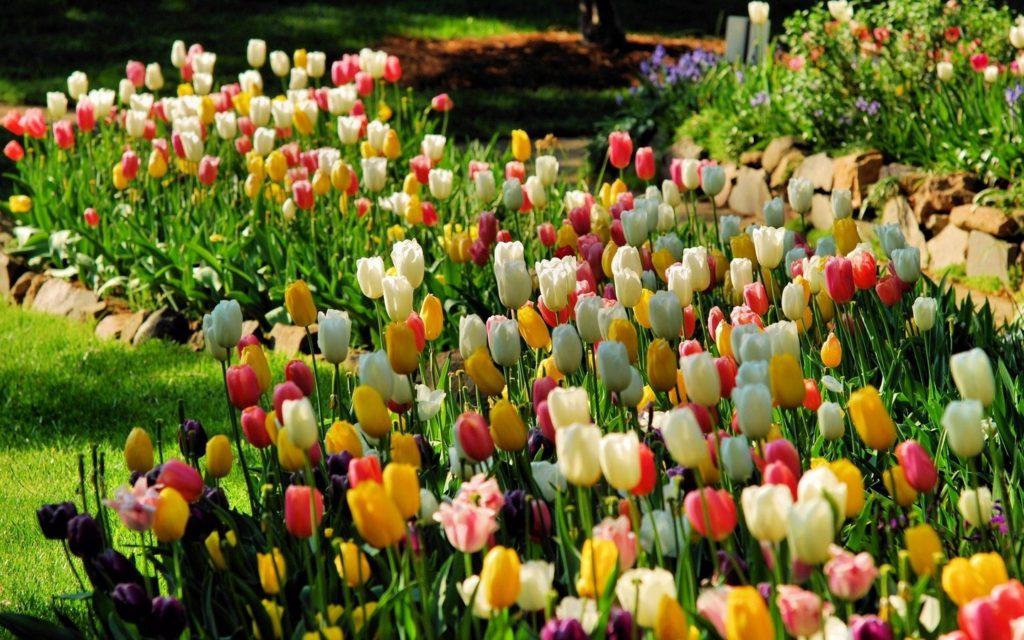 тюльпаны в монопосадке